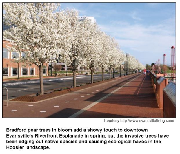 Bradford pear trees in bloom add a showy touch to downtown Evansville's Riverfront Esplanade in spring, but the invasive trees have been edging out native species and causing ecological havoc in the Hoosier landscape.