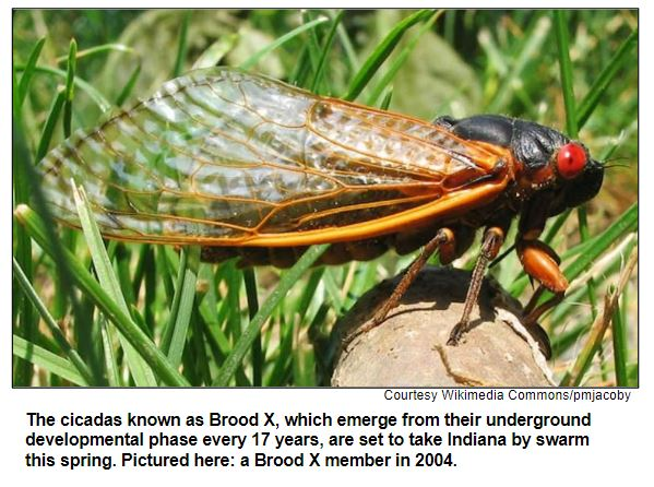 The cicadas known as Brood X, which emerge from their underground developmental phase every 17 years, are set to take Indiana by swarm this spring. Pictured here: a Brood X member in 2004. Corutesy Wikimedia Commons / pmjacoby