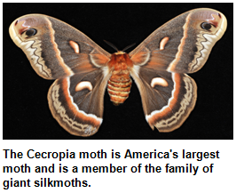 The Cecropia moth is America's largest moth and is a member of the family of giant silkmoths.