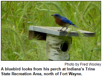 A bluebird looks from his perch at Indiana's Trine State Recreation Area, north of Fort Wayne. Photo by Fred Wooley.