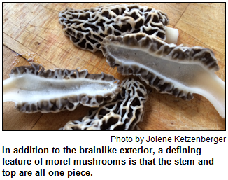 In addition to the brainlike exterior, a defining feature of morel mushrooms is that the stem and top are all one piece. Photo by Jolene Ketzenberger.
