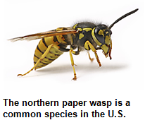 The northern paper wasp is a common species in the United States.