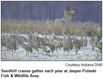 Sandhill cranes gather each year at Jasper-Pulaski Fish & Wildlife Area.